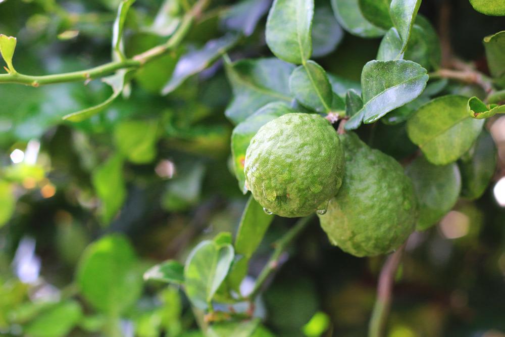 kaffir limonka drzewko