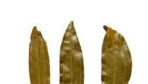 Liście malabar : cynamonowiec tamala