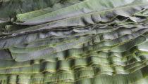 Bananowiec liście